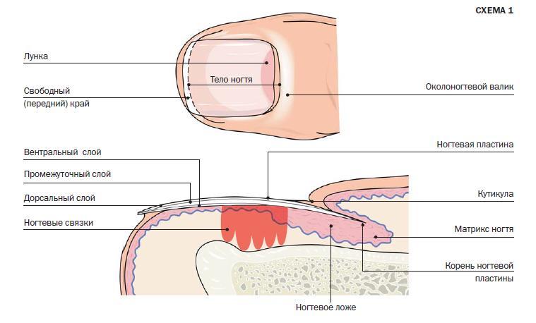 Структура ногтей